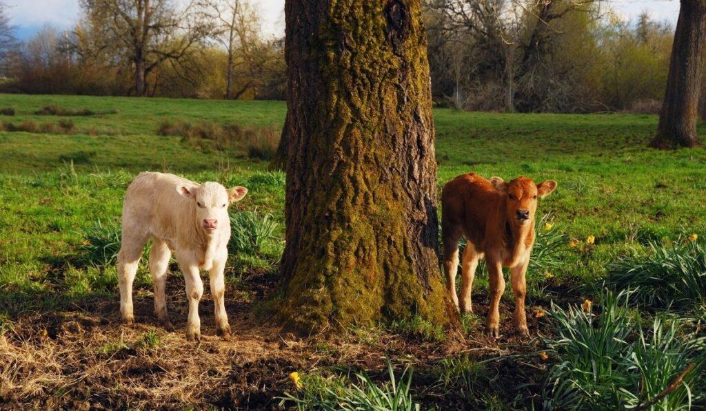 Piedmontese Cows