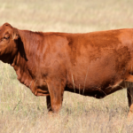 9 Red Cow Breeds