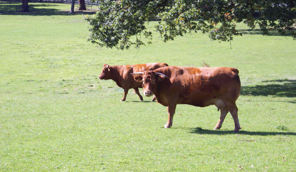 Two cows in the field on a sunny day