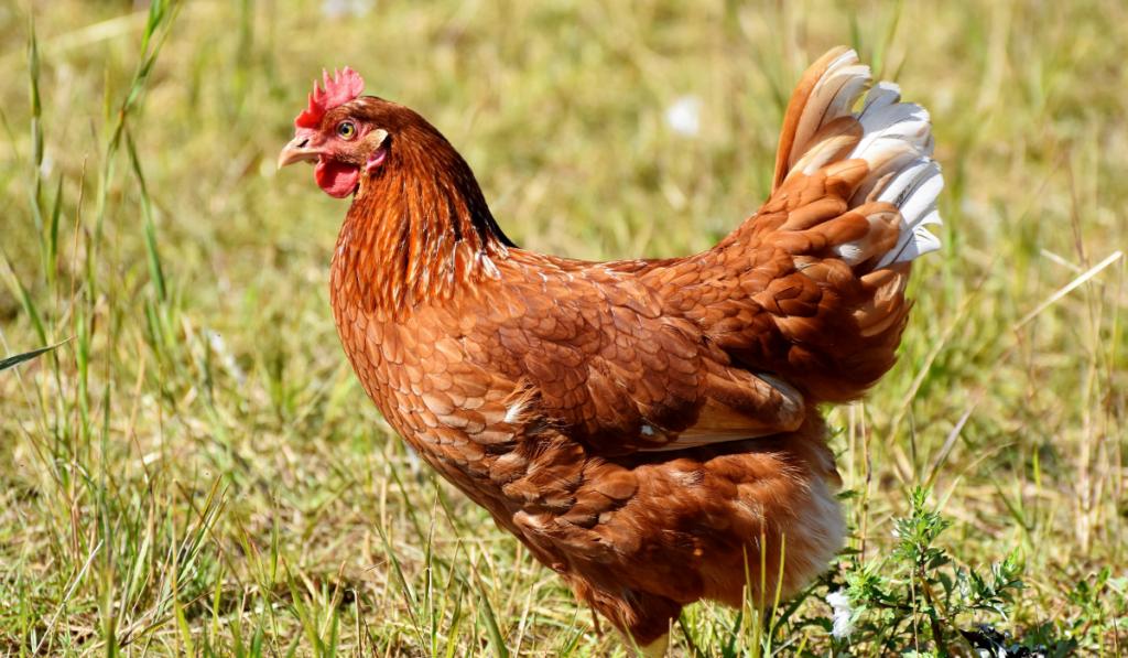 chicken in the farm