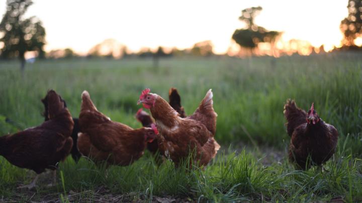 chickens in the farm