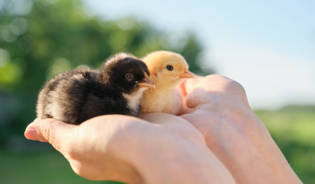 two chicks resting on a man's hand