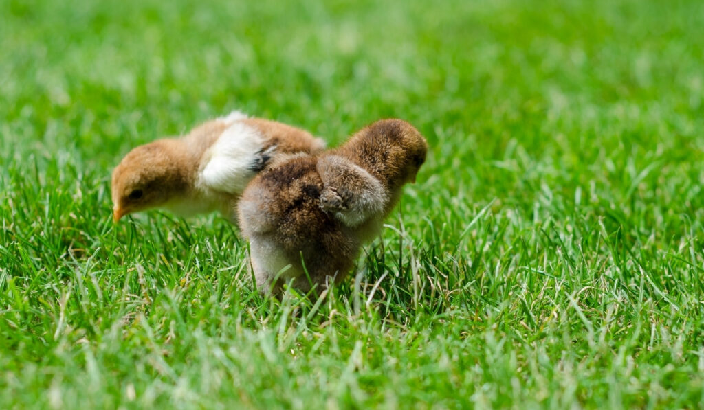 chicks looking for something to eat on the grass