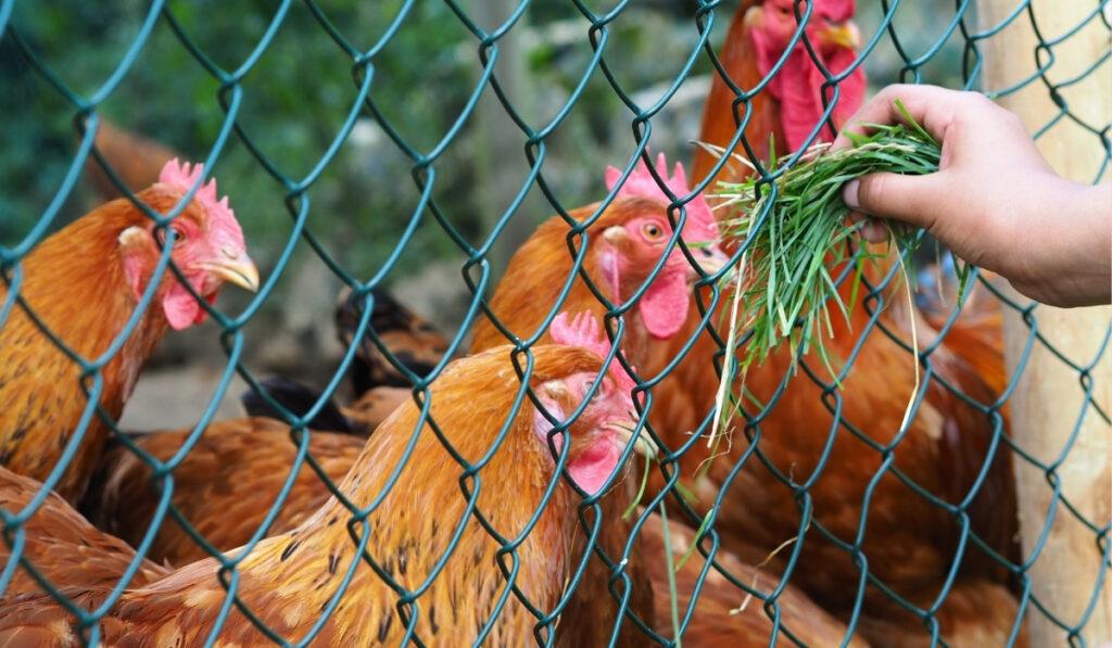child feeding the chickens grass