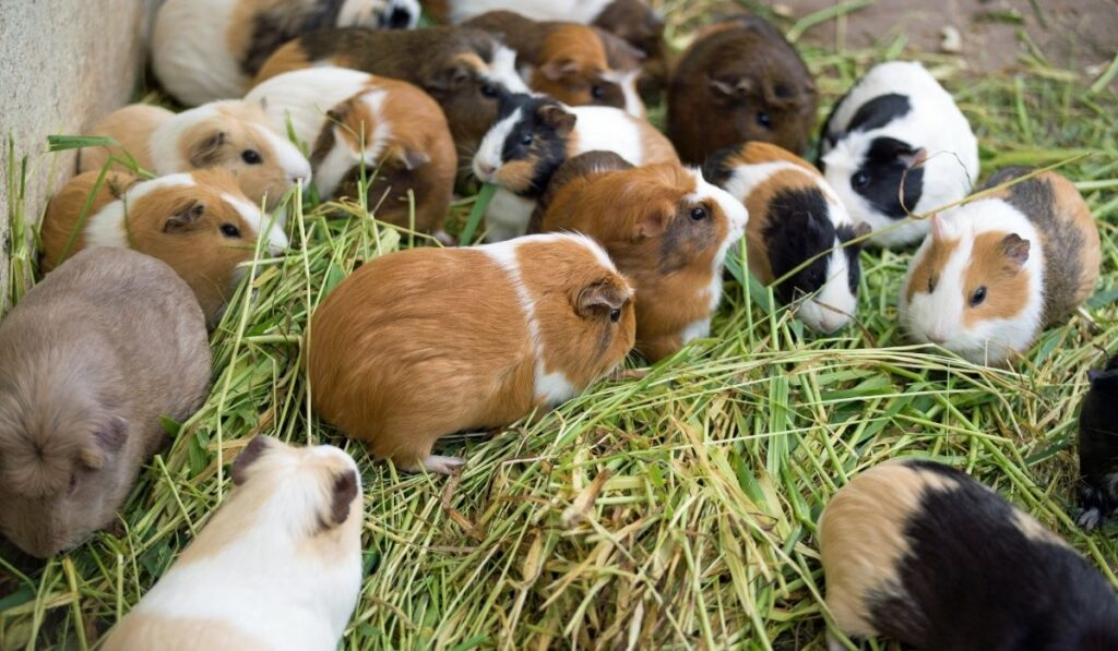 different types of guinea pigs in a pen