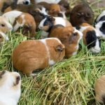Ultimate Guide to Raising Guinea Pigs for Meat
