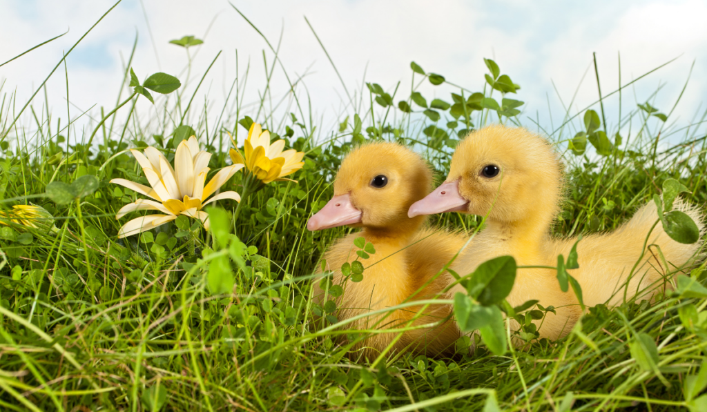 Ducklings sitting on the grass with flowers