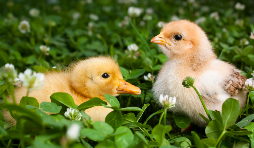 A chick and a duckling sitting on a green grass