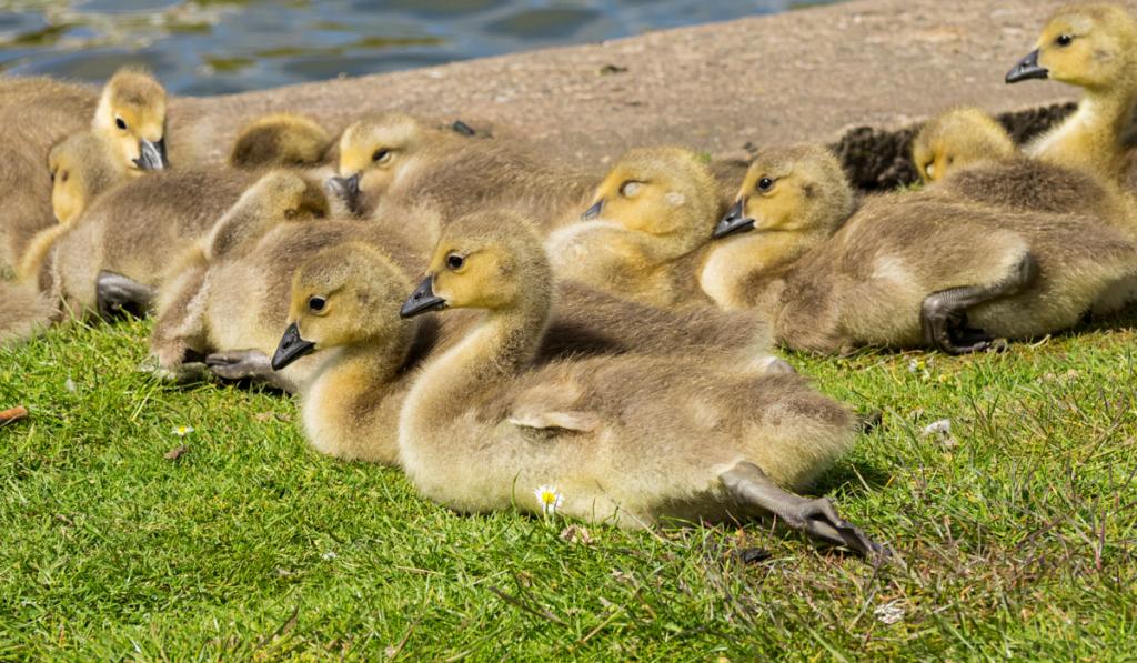 Ducklings resting near a pool