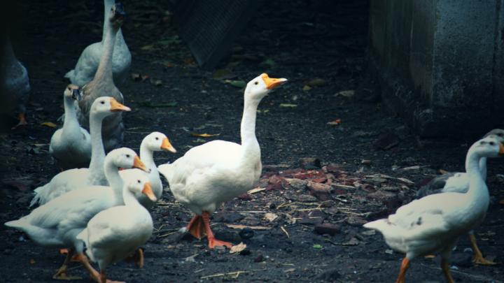 ducks walking in the backyard