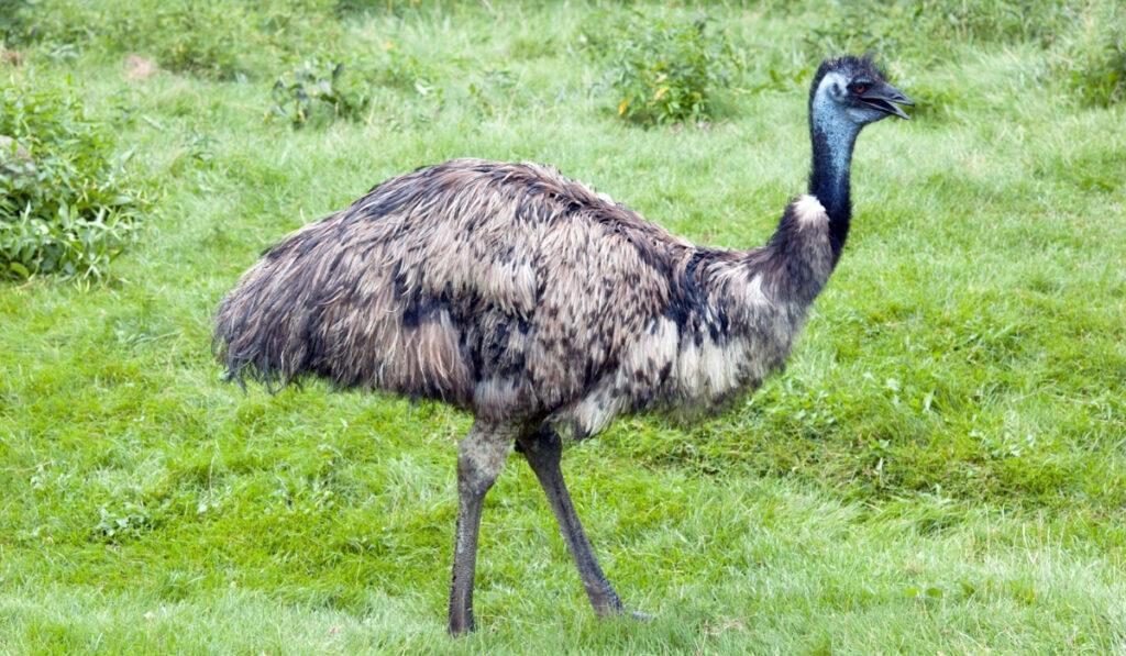 emu-walking-through-the-green-grass