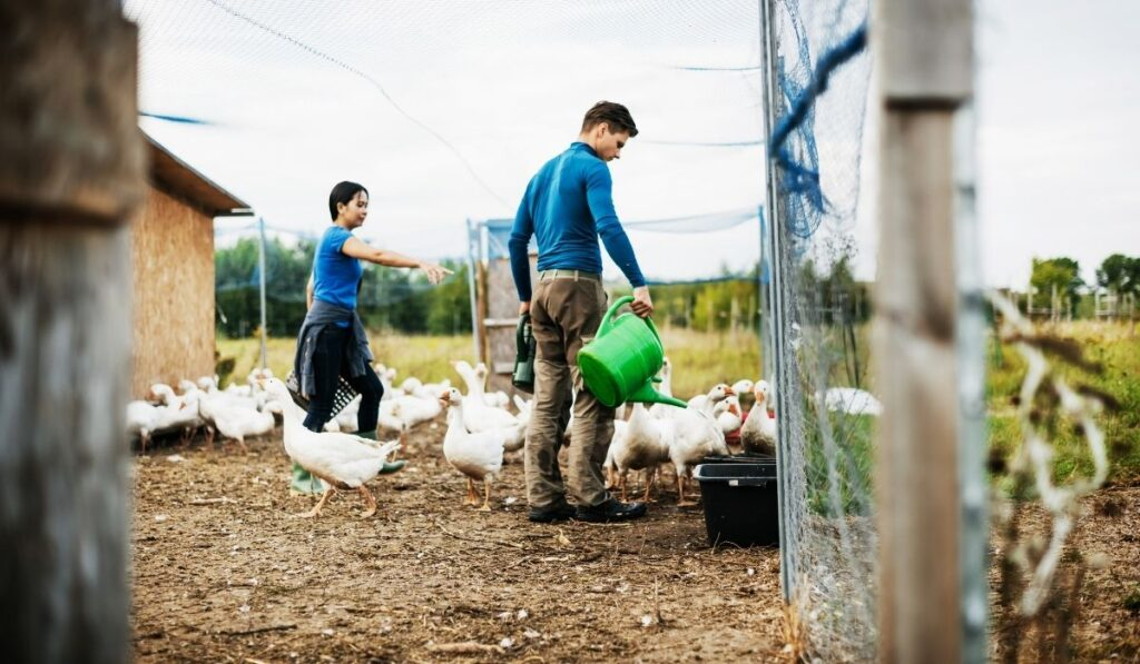 farming couple taking care of geese