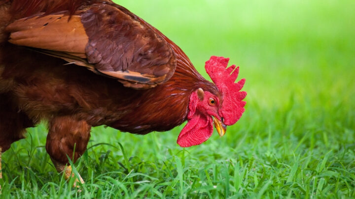 free-range-rooster-eating-grass