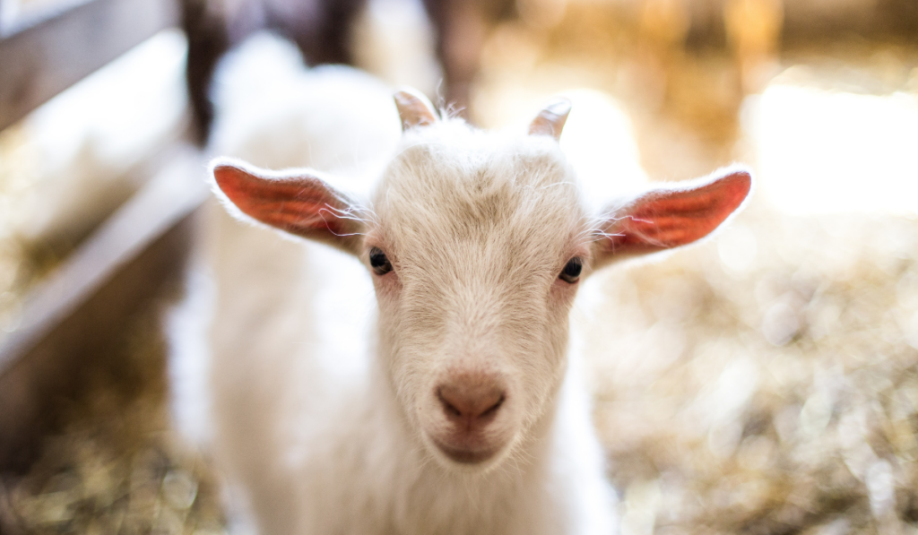 White goat on a blurry background