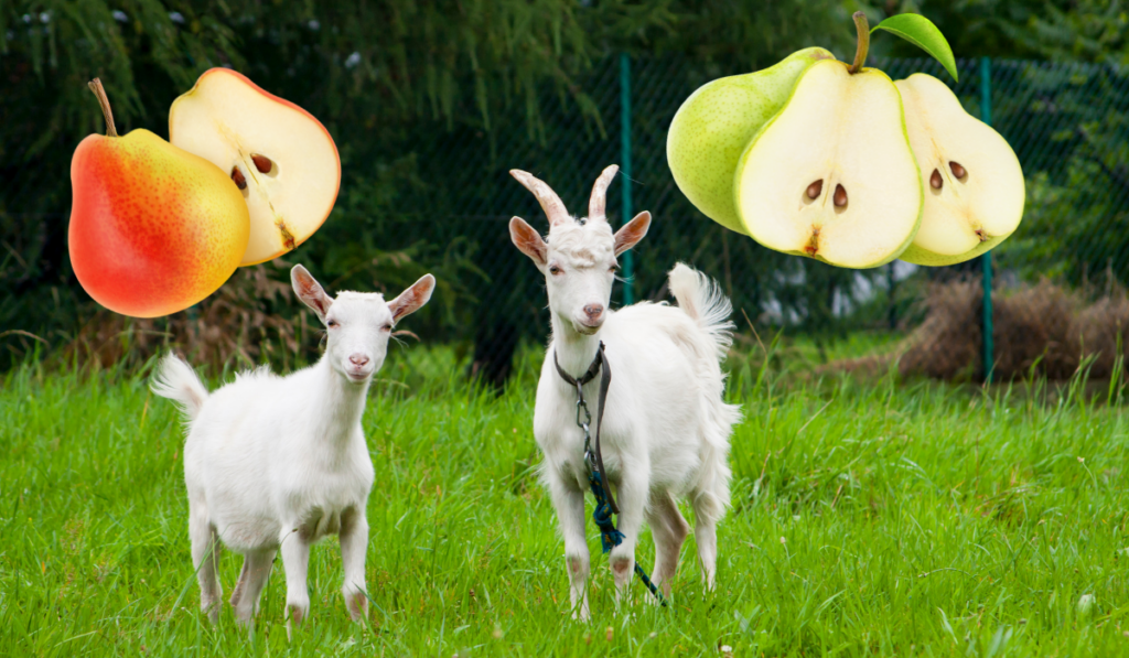 goats with images of sliced pears