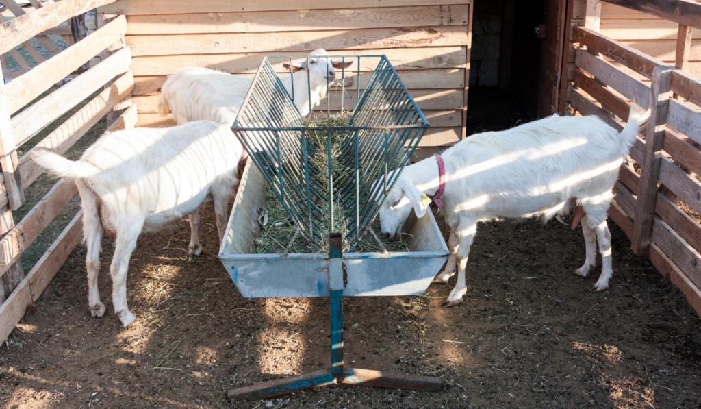 Goats eating inside the pen