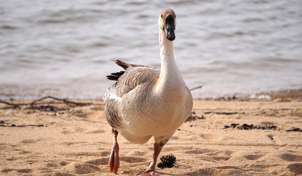 goose walking in the shore limping
