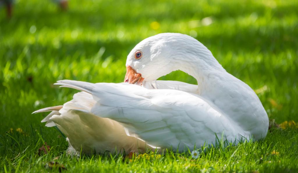 goose-resting