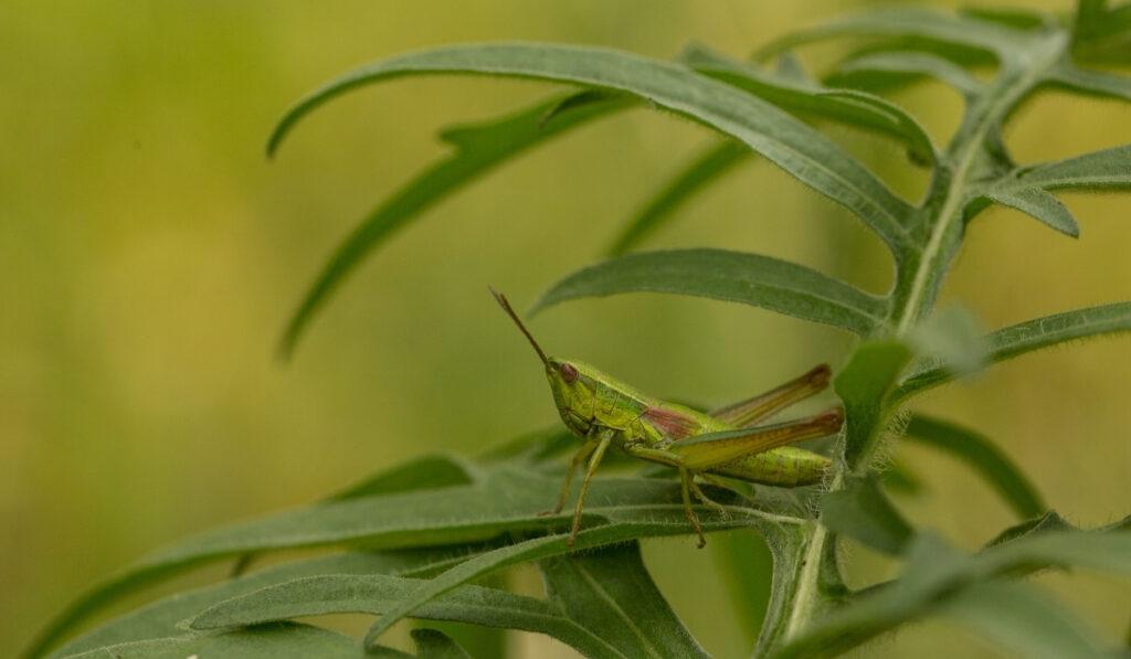 grasshopper sitting on the green grass