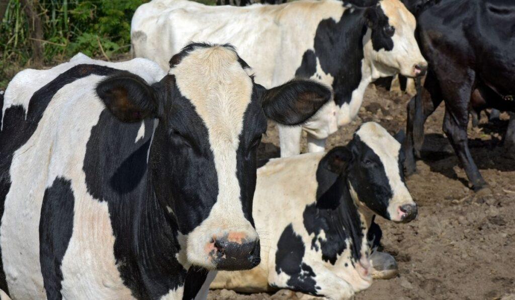 group of Girolando cows