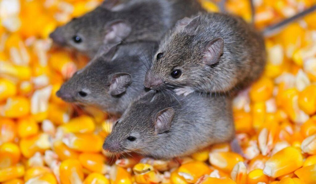 mice on corn grains