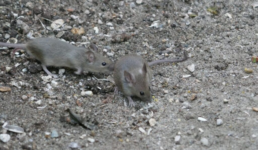 mice roaming around looking for room