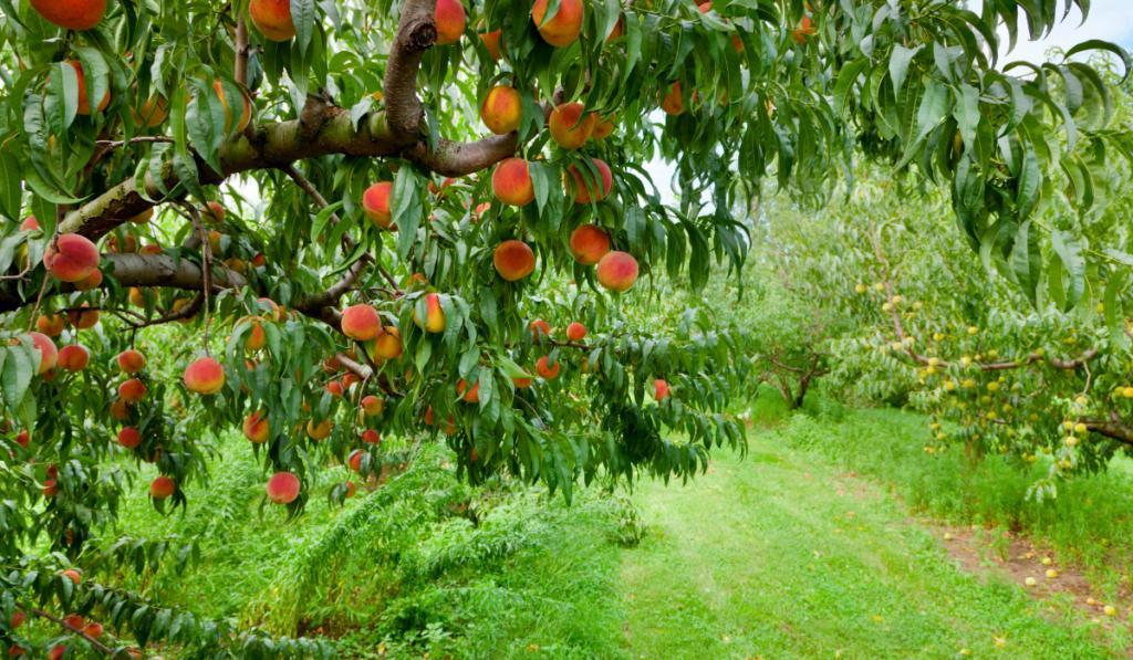 A tree of peach on the farm