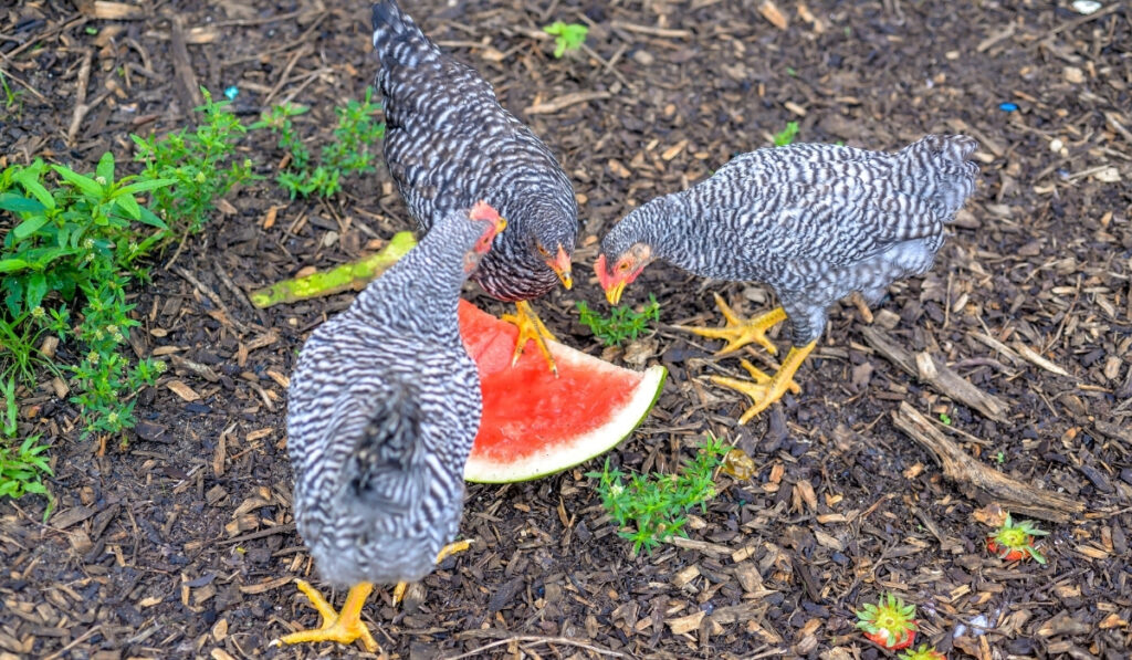 three chickens sharing watermelon as a snack