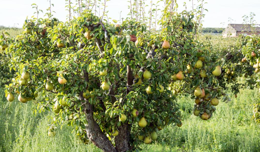 A pear tree in the backyard
