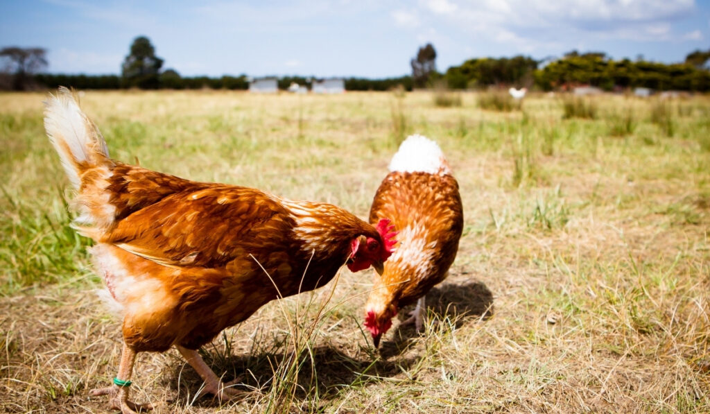 two-chickens-roaming-and-pecking-on-the-ground