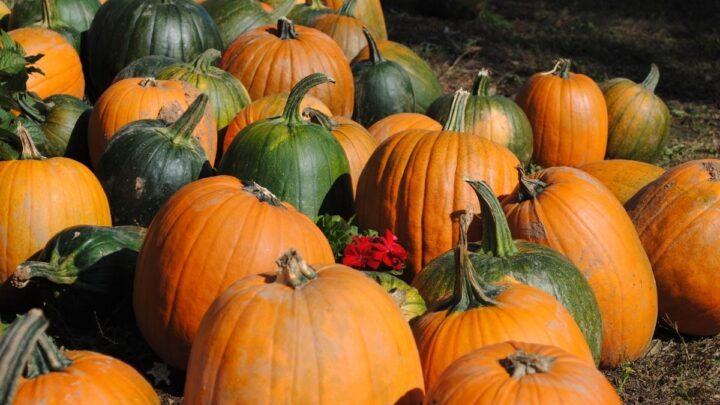 unripe pumpkins